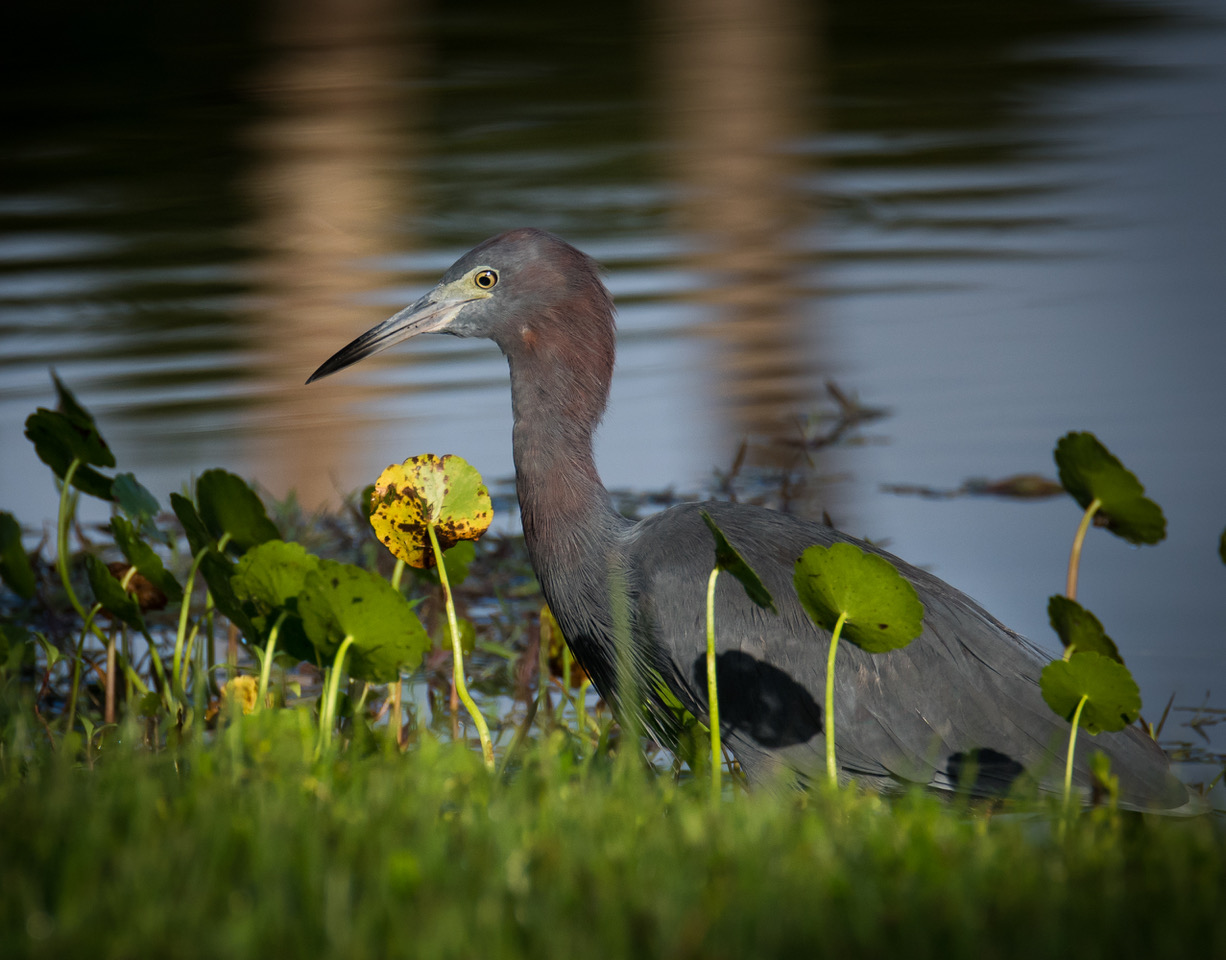 Little Blue Heron photographed in Palm Beach County during PhotoMasters Workshops by Bob Gibson