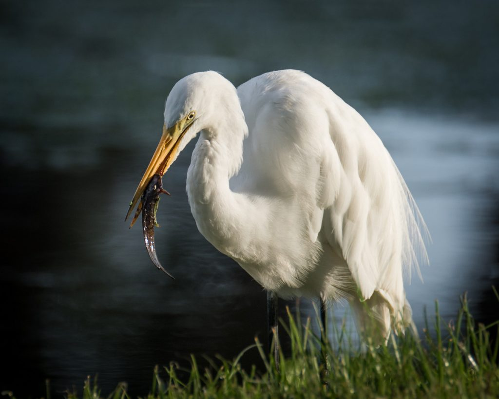 Great Egret feeding at Jupiter Florida's Riverbend Park