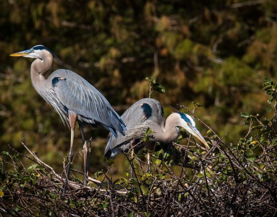Great Herons Nesting