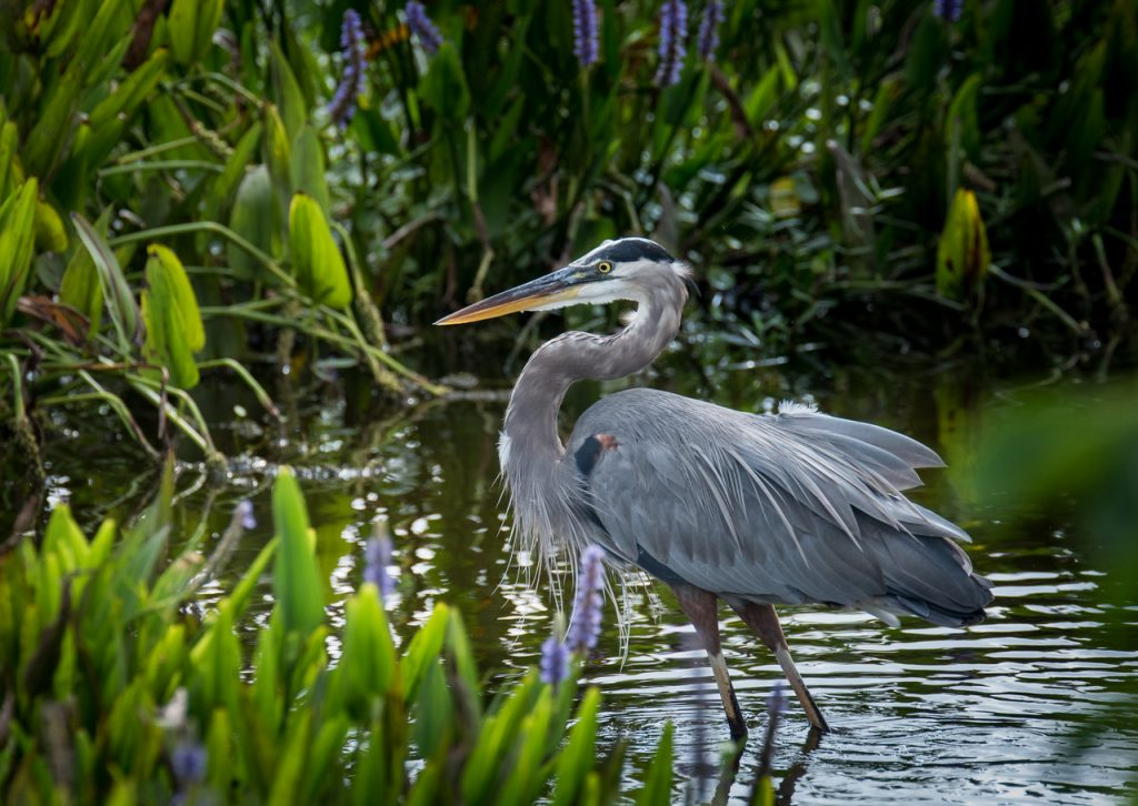 Tri-Colored Heron in Palm Beach County Florida