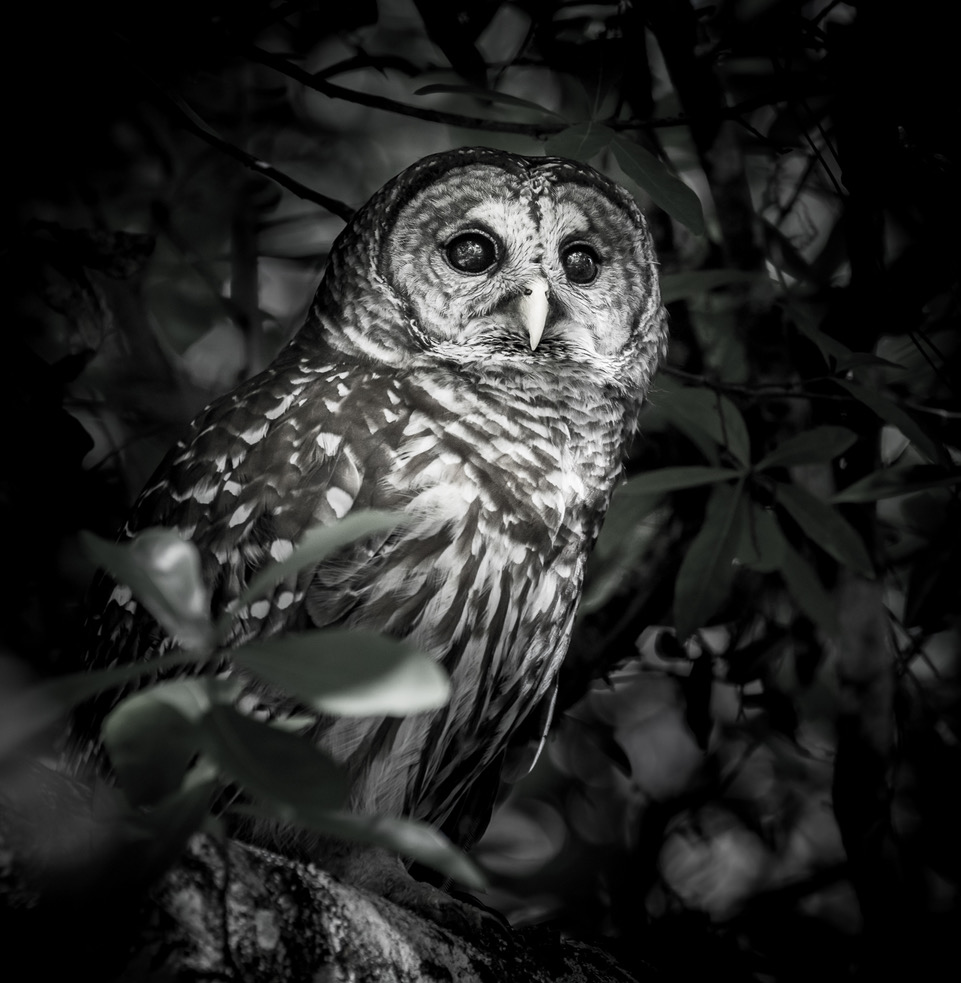 Black and White photo of a Barre Owl