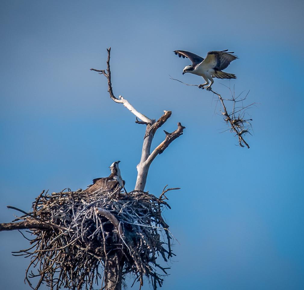 Osprey building a nest.