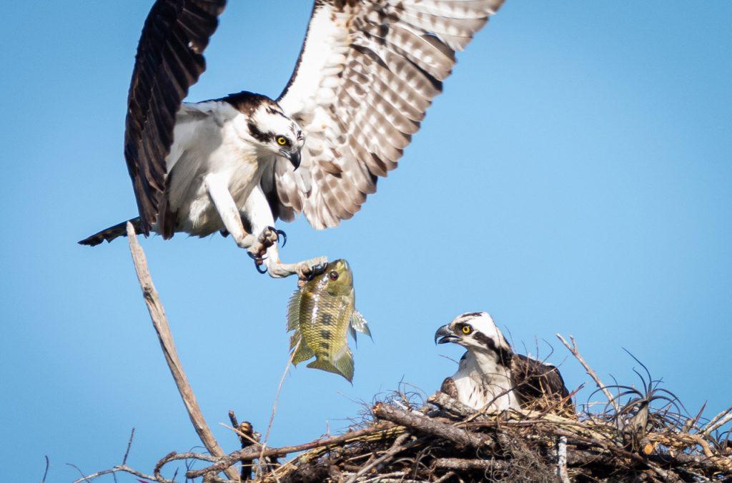 Ospreys Nesting in Riverbend Park Jupiter Florida
