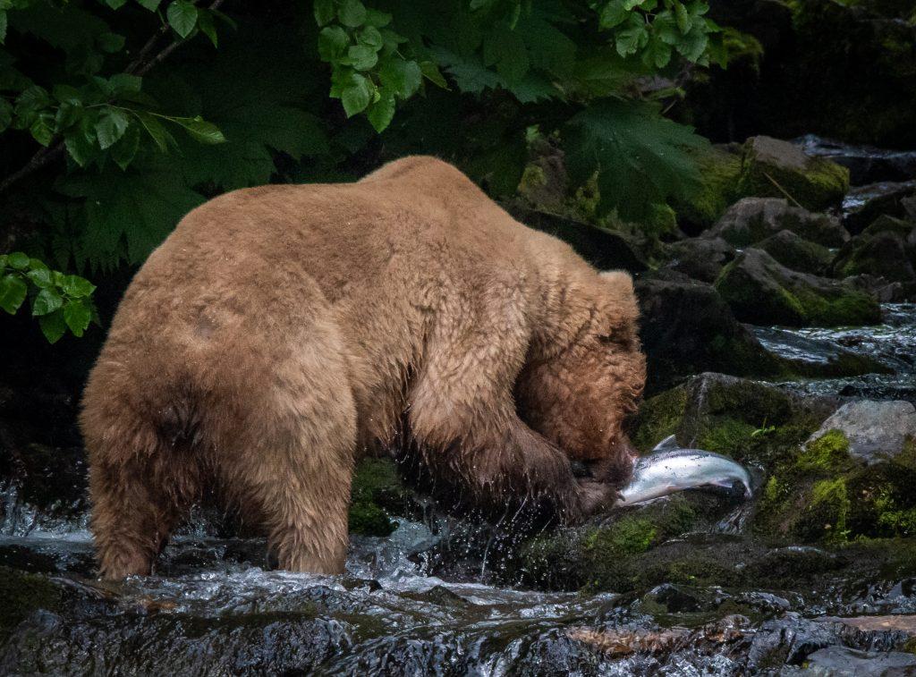 Salmon Runs attract Alaska Brown Bears to rivers and beaches of the Katmai Peninsula