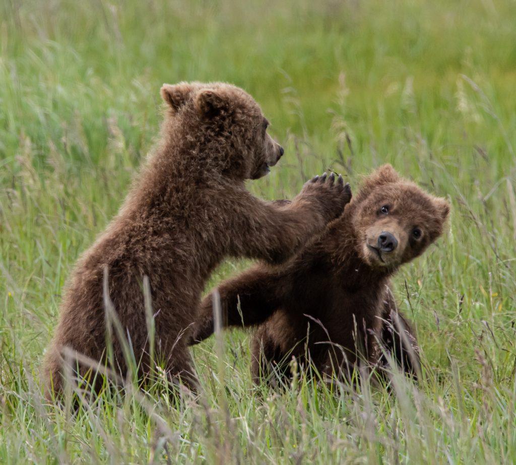 Brown Bear Cubs play fighting