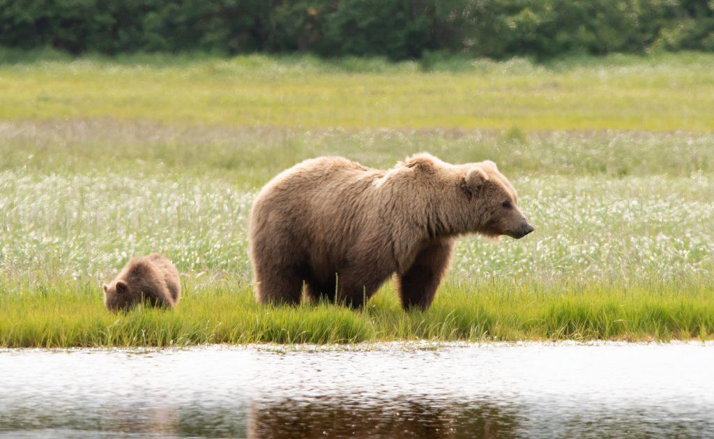 Alaskan Brown Bear Mother and Cub in Katmai National Park