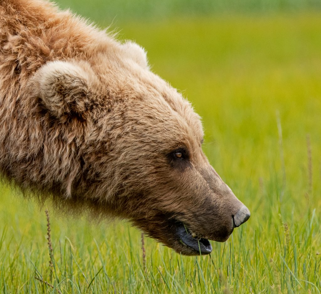 Brown Bear Katmai National Park