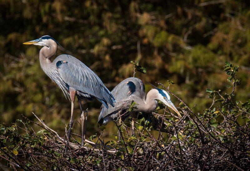 Great Herons Nesting